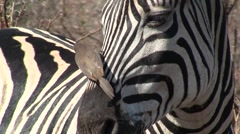 Oxpecker on a Zebra Stock Footage