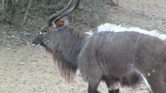 Nyala male walking Stock Footage