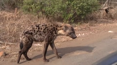 Hyena Stock Footage