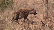 Spotted Hyena Walking close-up Stock Footage