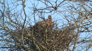 Vulture on its nest Stock Footage