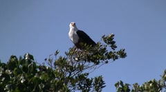 African fish eagle  Stock Footage