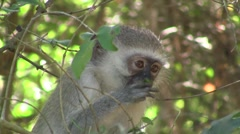 Vervet monkey eating leaves Stock Footage