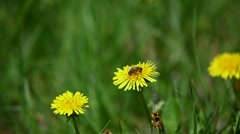 Bee collect nectar from the dandelions bloom Stock Footage