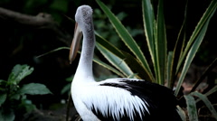 Pelican (Pelecanidae) Looking, Flying, Swimming, Pond, Large Bird, Pelekys Stock Footage