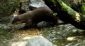 Mustelidae family, Aquatic Animal, A Group of Otters (Lutrinae) Looking Swimming Footage