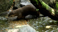 Mustelidae family, Aquatic Animal, A Group of Otters (Lutrinae) Looking Swimming Stock Footage