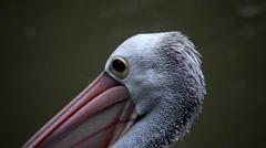 Pelican (Pelecanidae) Looking, Flying, Swimming, Pond, Large Bird, Pelekys Stock Footage