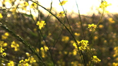 wild mustard soft - stock footage