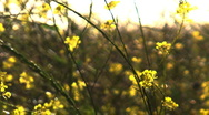 Stock Video Footage of wild mustard soft