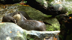 A Group of Otters (Lutrinae) Looking Swimming, Mustelidae family, Aquatic Animal - stock footage