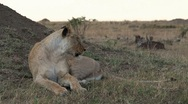 Stock Video Footage of Lion just awake