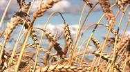 Stock Video Footage of Wheat field