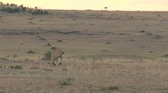 Lion walking in the evening Stock Footage