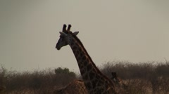 Giraffe stands in the bushes eating Stock Footage