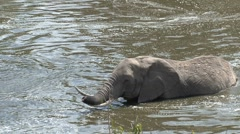 Elephant crossing the masai mara river with little trunk Stock Footage