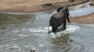 Stock Video Footage of Elephants afraid to cross the masai mara river