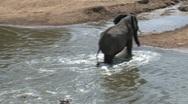 Elephants afraid to cross the masai mara river Stock Footage
