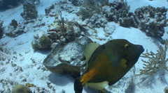 Triggerfish swimming over a sandy coral reef Stock Footage