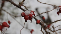 Fruits of brier in the snow Stock Footage