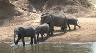Stock Video Footage of Elephants arriving at the masai mara river