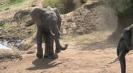 Elephants arriving at the masai mara river Stock Footage