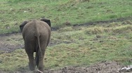 Stock Video Footage of Little elephant walking