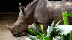 Rhinoceros, Rhino (Rhinocerotidae Family), Odd-Toed Ungulate Stock Footage