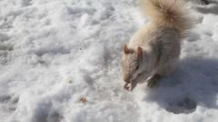 Albinos squirrel Stock Footage