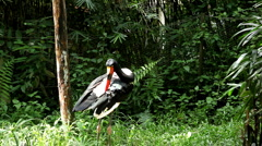 Saddle Billed Stork (Ephippiorhynchus Senegalensis), Large Wading Bird Stock Footage