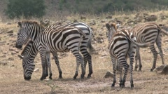 Group zebras Stock Footage