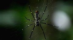 Dangerous Spider in Web Waiting, Close-Up, Araneae, Arthropods, Venom - stock footage