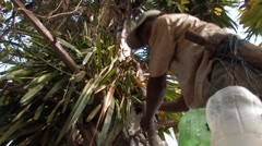 Cambodia: Climbing the Sugar Palm Stock Footage