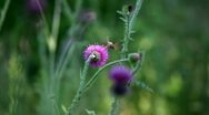 Stock Video Footage of butterfly fly and suck nectar from thistle
