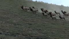Elk herd running Stock Footage