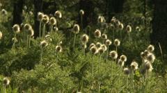 Western Anemone wildflower seed heads - stock footage