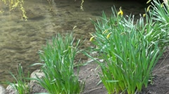 Daffodils with River Water Background Stock Footage