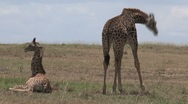 Young Giraffes Stock Footage