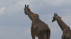Two giraffes - stock footage