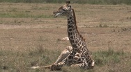 Young Giraffe laying down Stock Footage