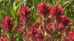 Indian Paintbrush wildflowers - stock footage