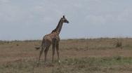 Babu giraffe Stock Footage