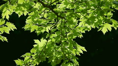 Leaves of a tree swayed in the wind Stock Footage
