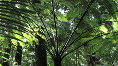 Dominica tree fern Stock Footage