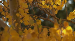 Gold Aspen trees in the breeze 2 - stock footage