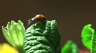 Stock Video Footage of Ladybird on a grass.