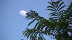 Jacaranda and moon Stock Footage