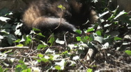 Ferrets playing and searcher Stock Footage