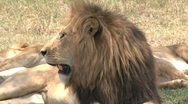 Stock Video Footage of lions mating