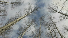 Aspen Trees Sky Stock Footage